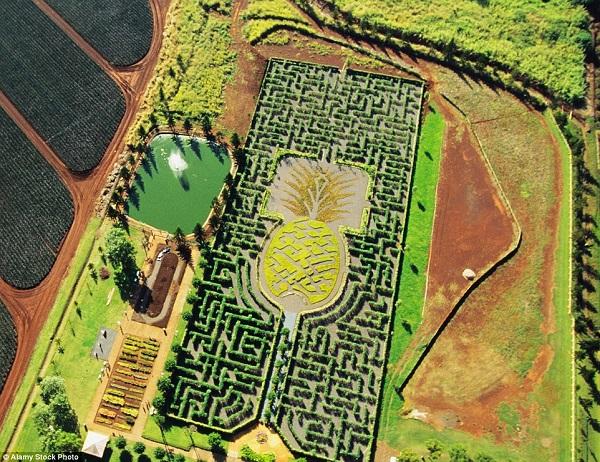 Dole Plantation Pineapple
