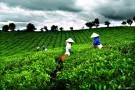 Cổ phần hóa chè Việt Nam: Không xanh như màu lá