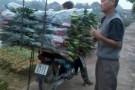 Nông dân Tây Tựu lỗ nặng vì hoa ly nở sớm