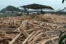 Xưởng gỗ dăm trái phép: Sở NN&PTNN Nghệ An nói gì?