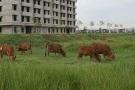 Thanh Hóa: Công trình nhà ở công nhân trăm tỷ thành nơi chăn thả trâu bò!