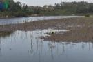Xuất hiện sinh vật lạ tấn công rừng Đước ngập mặn tại Quảng Ngãi