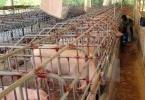 LienVietPostBank chung tay giải cứu đàn lợn cho bà con nông dân