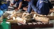 Bắt 2 container ngà voi giấu trong gỗ, trị giá hơn 20 tỉ đồng