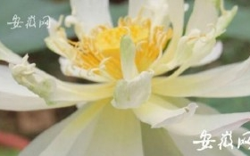 Hạt sen cổ đại 600 tuổi bất ngờ nở hoa