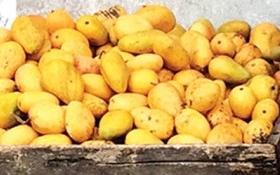 Việt Nam đã nhập gần 500 tấn xoài mút từ Trung Quốc