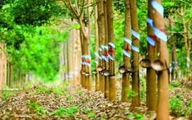 Đại gia Việt chi hơn 4 tỷ USD trồng cao su, mía đường ở Lào, Campuchia