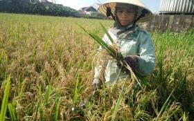 Nông dân Hà Tĩnh điêu đứng vì mất mùa giống lúa Thiên ưu 8
