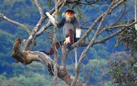 Đà Nẵng: Công bố số lượng Vooc chà vá trên núi Sơn Trà